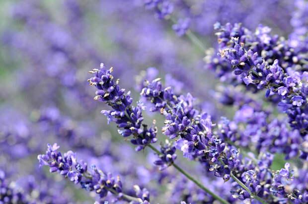 Лаванда: секреты выращивания