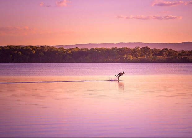 Кенгуру на закате дня (Dave Kan, Австралия).