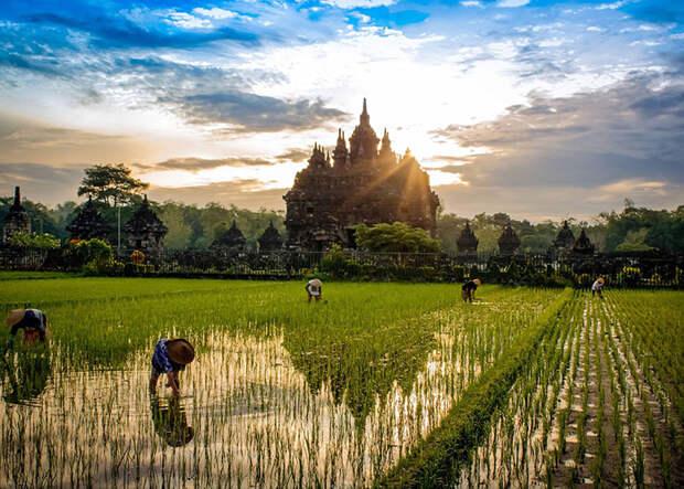 Рисовые поля в Индонезии (Bill Stipp, Индонезия).
