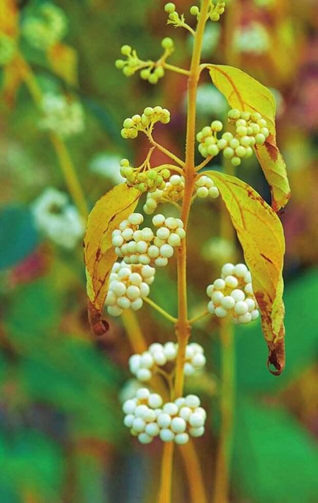 Красивоплодник белоплодный (Callicarpa albibaccata)