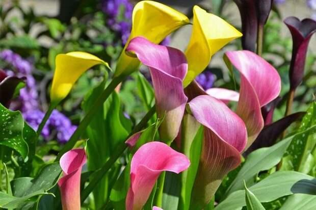 Вот почему на моем участке всегда цветут каллы