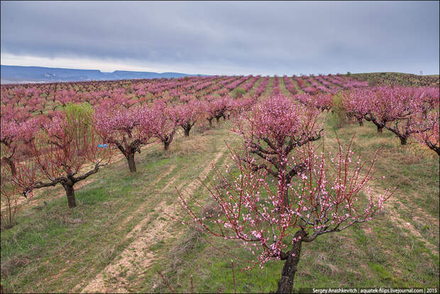 Цветение персиков в Крыму,