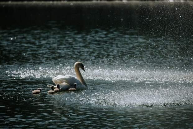 Птенцы, родившиеся в этом году - это уже шестое поколение пернатых, давно обитающих в пруду неподалеку от предприятия/Пресс-служба МНПЗ