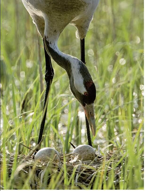 Рис.2. Восстановление (новое обводнение) болотных массивов, охрана мест гнездования от беспокойства, значительное «предложение» кормов в аграрном ландшафте во внегнездовое время привели к подъёму численности серого журавля.