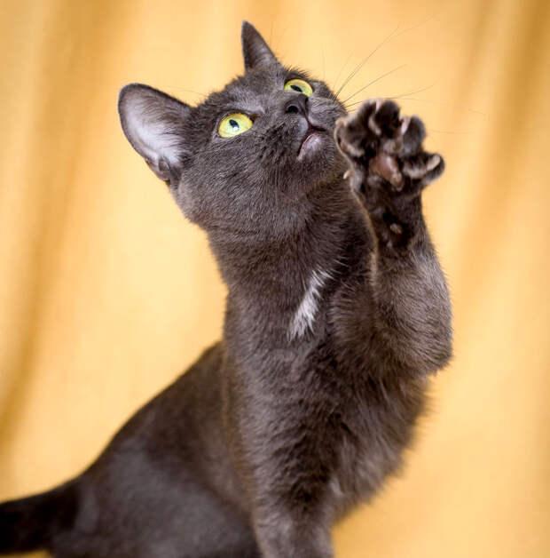 Пятничная кошечка Коко Шанель – маленькое серое счастье