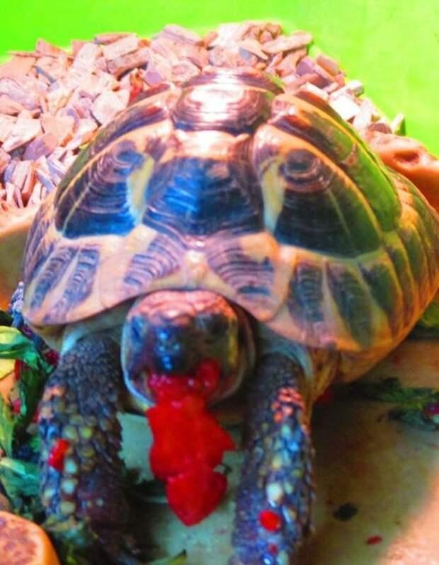 Черепаха и клубника животное, фрукт, ягода