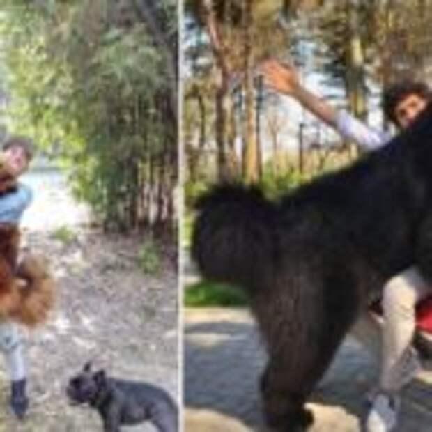 Тибесткие мастифы — лохматые КамАЗы в мире собак