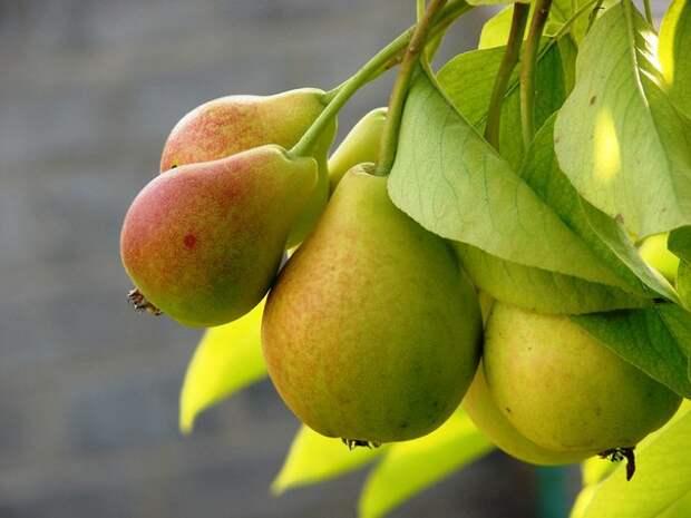 5 способов заставить грушу плодоносить быстрее