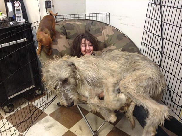 43. Щенок ирландского волкодава требует свое кресло размер, собака