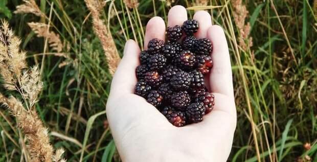 Лесной смузи: какие ягоды принесут пользу вашему организму
