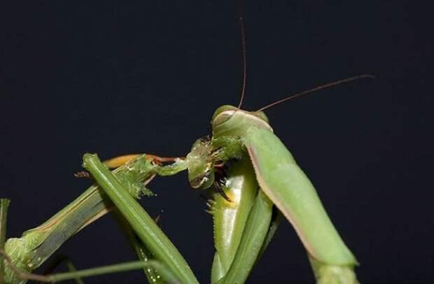 Голодные самки богомола привлекают больше самцов