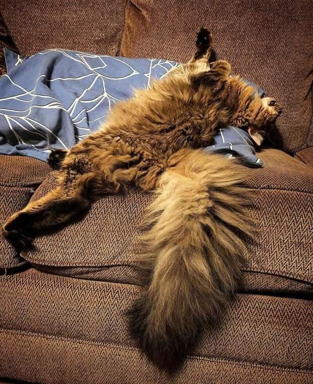 9. Удобность домашний питомец, животные, забавно, кот, мейн-кун, фото, юмор