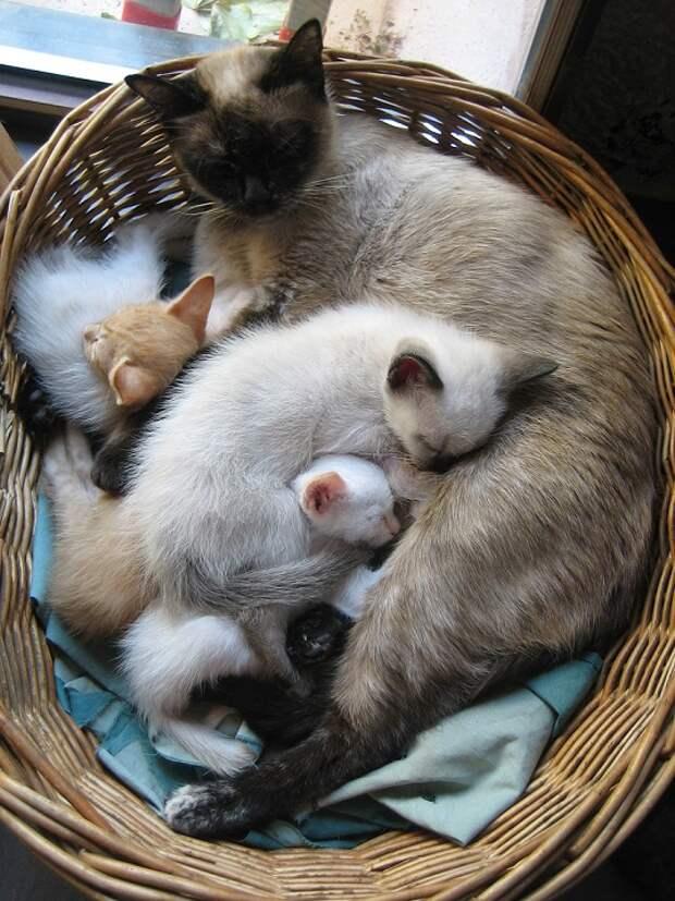 Сиамские кошки. Красивые фото. Кошка с котятами