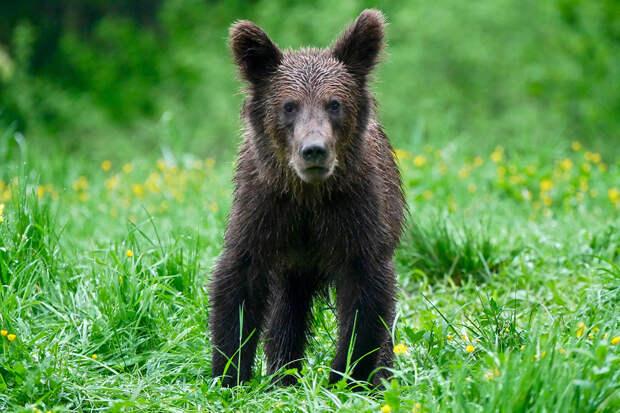 Медвежонка на Камчатке спасли от агрессивного взрослого медведя