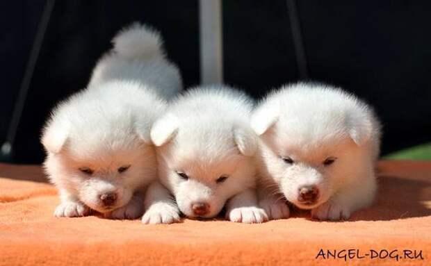 Щенки японской акита ину, фото породы собак фотография картинка