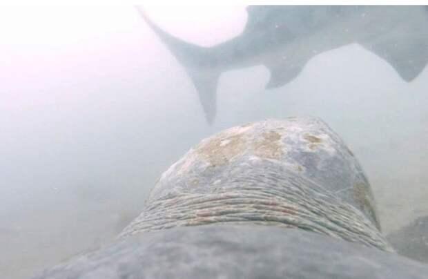 Видео: ученые впервые показали, как черепаха отбивает атаки акулы