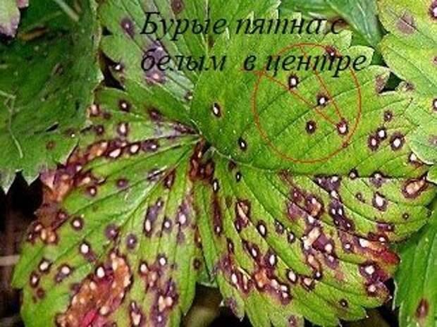 Пораженные листья  бурой пятнистостью
