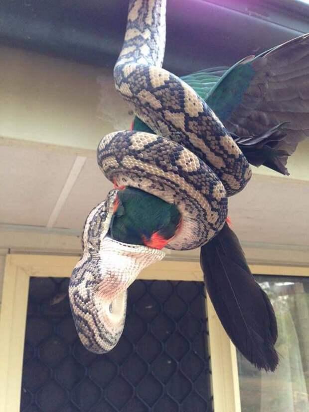 Питон пообедал экзотическим блюдом - королевским попугаем животные, обед, питон, попугай