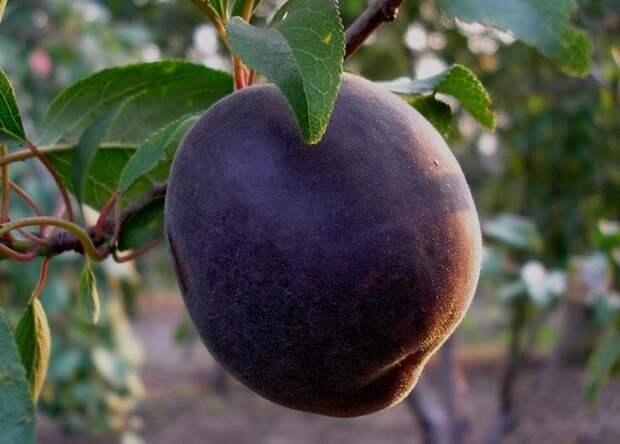 абрикос черный