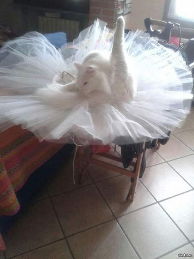 Балет в исполнении   животные, кот