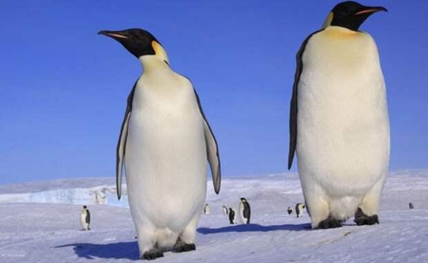 Учёные из Новой Зеландии открыли ранее неизвестного гигантского пингвина