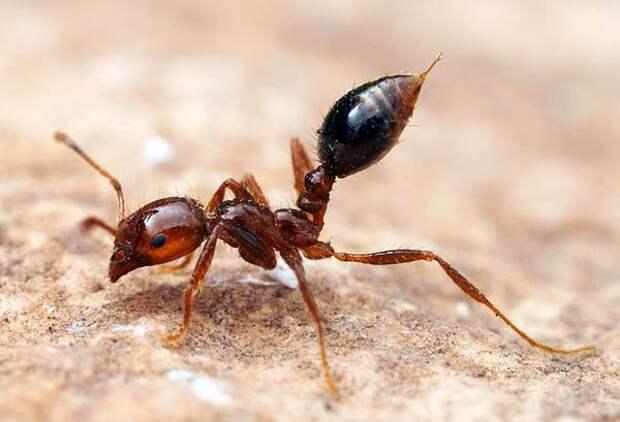 Огненный муравей животные, факты