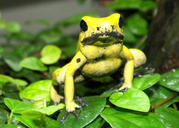 http://animals-wild.ru/uploads/posts/2011-09/1316079909_800px-goldenergiftfrosch2cele4.jpg
