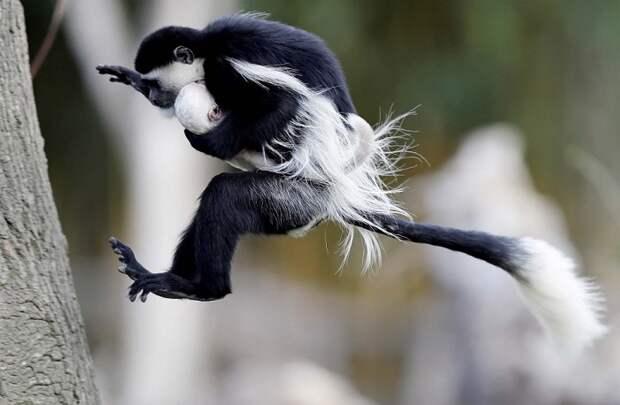 Прыгая с ветки на ветку колобусы могут изменять направление в полете и совершать прыжки с 6-10 метров.