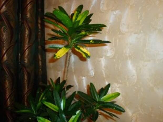 кодиеум, комнатные растения, кротон.