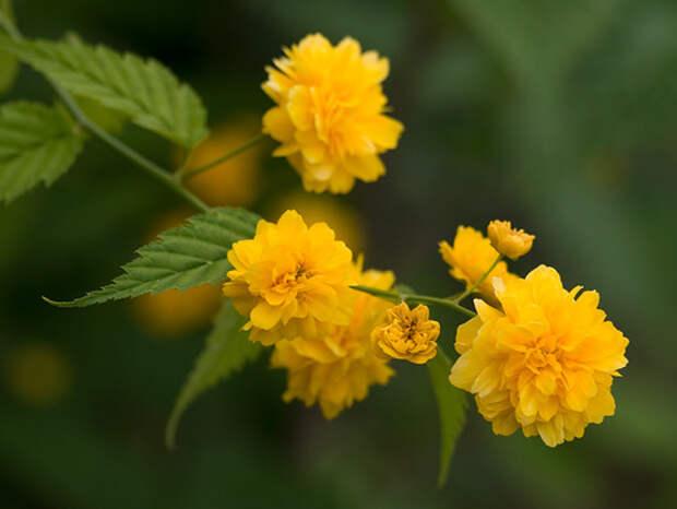 Сад, цветник и огород. Пасхальная роза - Керия японская