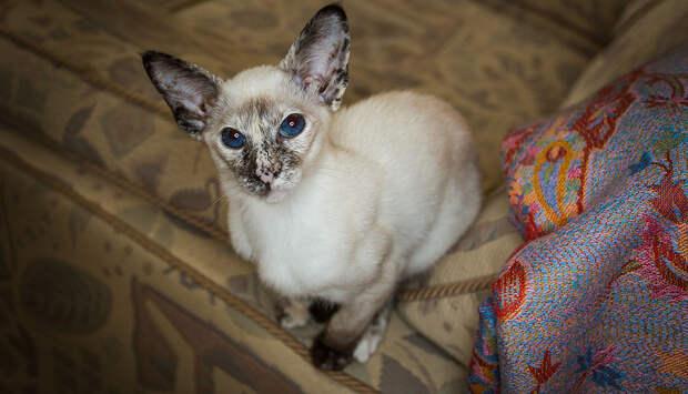 Сиамские кошки. Красивые фото