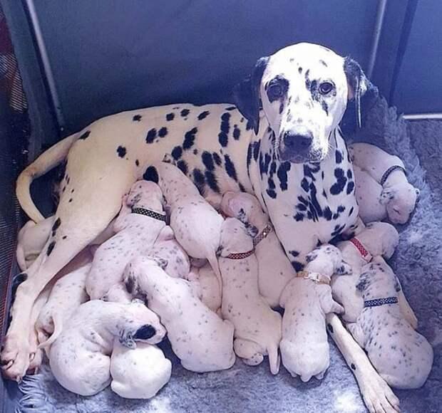 Многодетная мама: 18 щенков появились на свет у далматинца Нелли