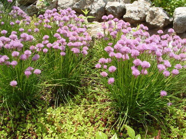 Шнитт-лук расставляет акценты в цветниках в начале лета