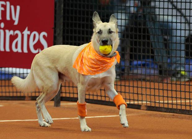 Собак из приюта научили носить мячики на теннисном турнире - и эта идея захватывает мир!