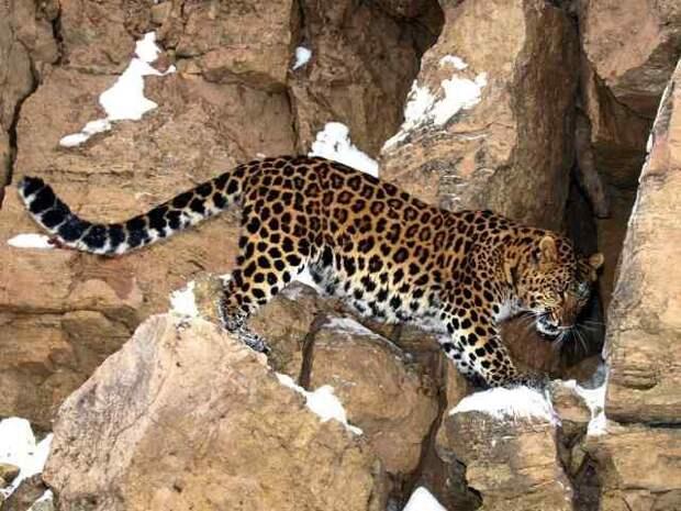 Дальневосточный (амурский) леопард. животные, красная книга, факты
