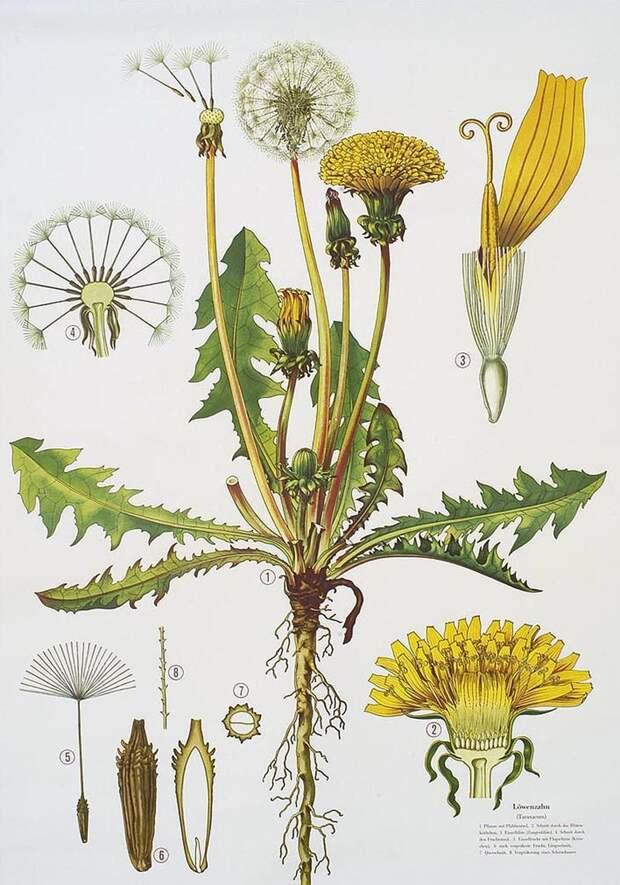 Растения обладающие противовирусными свойствами