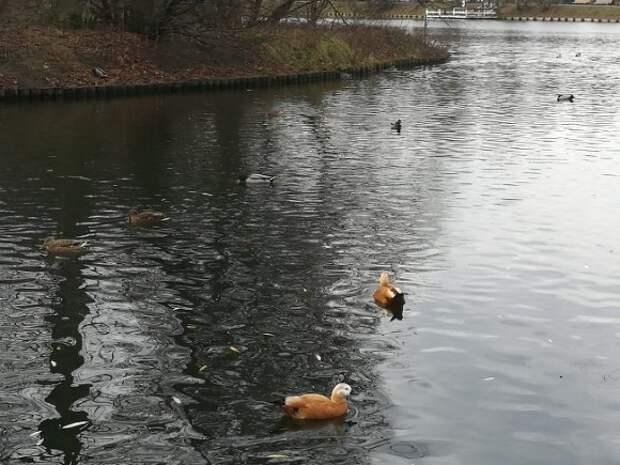 Москвичей призвали не подкармливать уток в парках