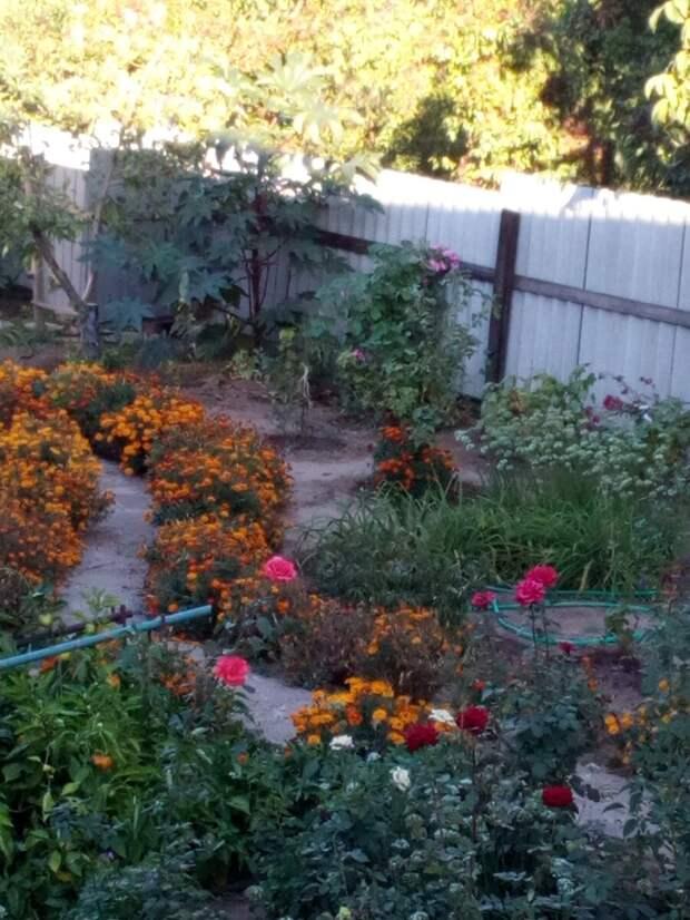 Бархатцы в саду