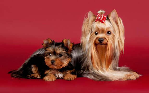 Йоркширские терьеры, фото фотография маленькие собачки