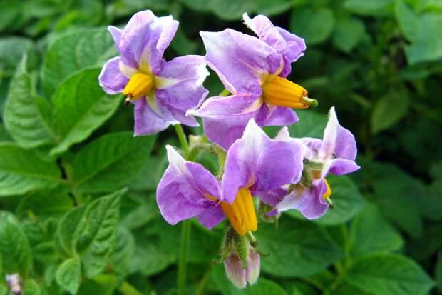 Лечебные свойства цветов картофеля.