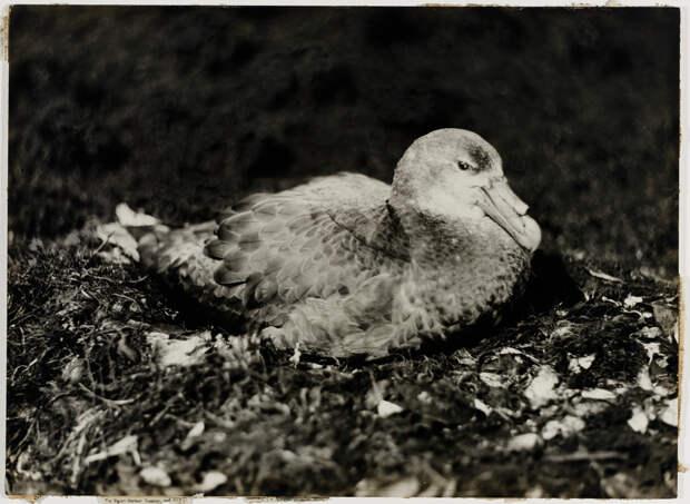 Первая Австралийская антарктическая экспедиция в фотографиях Фрэнка Хёрли 1911-1914 36