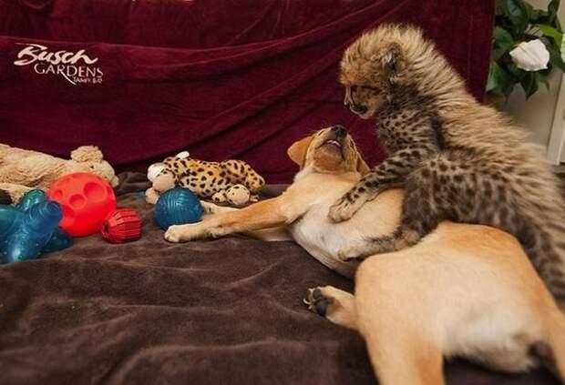 Друзья - собаки и гепарды гепарды, друзья, животные, зоопарк, собаки
