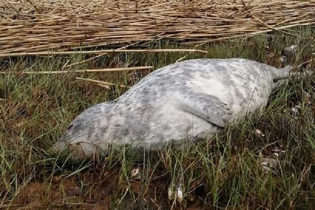 На берег Финского залива массово выбрасывает трупы тюленей