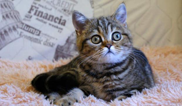 Породы кошек 30