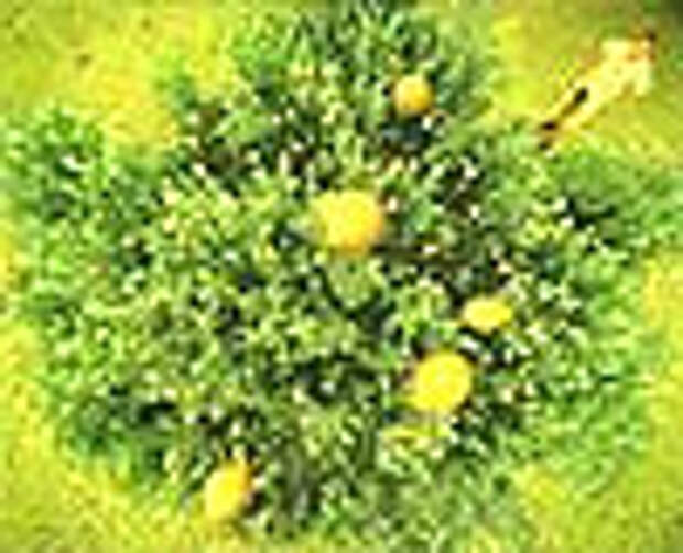 Лимонное дерево презрело закон Ньютона