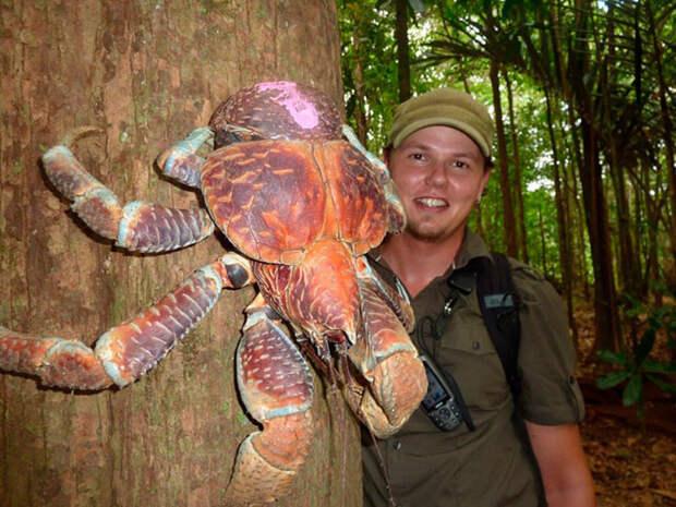 Рак пальмовый вор животные, фото