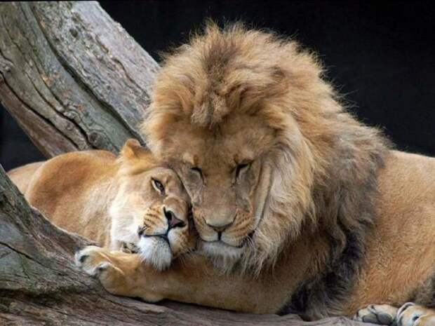 Когда она, та самая лев, львица, семья