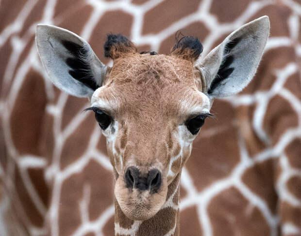 Первое фото. Маленький, только что родившийся жираф на фоне матери в зоопарке в Эрфурте, Германия. животные, жизнь, позитив, эмоции