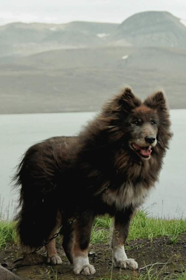 Таймырский пес Алук. Возвращение легенды. Шпицберген