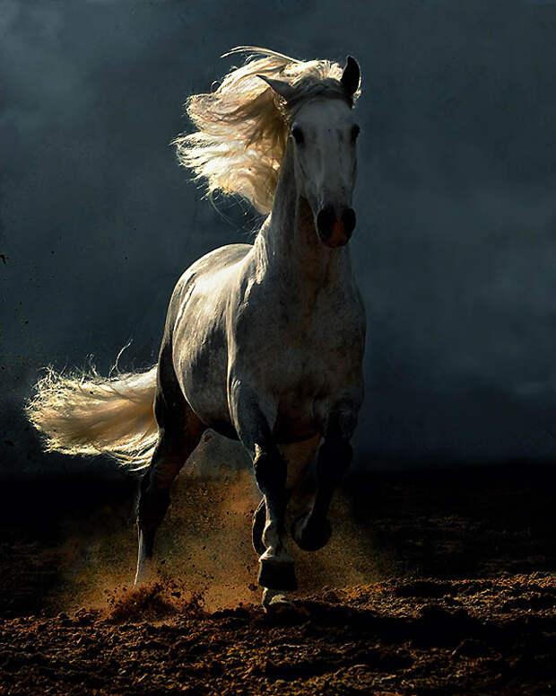 36. Андалузские лошади – настоящие звезды большого кино. Их можно увидеть в таких фильмах, как «Глад